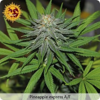 Barney's Farm Seeds Pineapple Express Auto Feminised