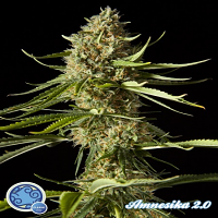 Philosopher Seeds Amnesika 2.0 Feminised