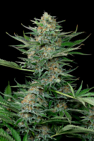 Dinafem Seeds Industrial Plant Feminized