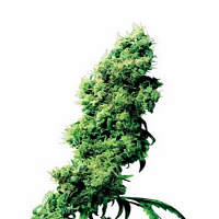 Four Way – Regular – Sensi Seeds