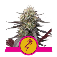 Royal Queen Seeds Green Punch Feminized (PICK N MIX)