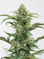 Dinamed CBD Auto - Feminized - Dinafem Seeds