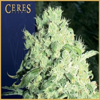 Ceres Seeds White Indica Feminised