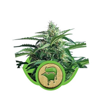 Sweet Skunk Automatic – Feminized – Royal Queen Seed