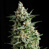 Pyramid Seeds Auto Anesthesia Feminized (PICK N MIX)