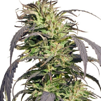 Spliff Seeds Gold Rush Outdoor Semi-Auto Feminised (Gold)