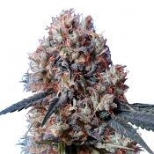 Nepal Jam x Kali China - Feminized - Ace Seeds