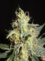 Green Label Seeds Automatic Mary Feminized