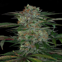 TGA Subcool Seeds Qush Regular
