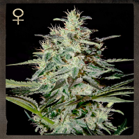 Strain Hunters Seeds White Lemon Feminized