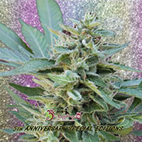 Dr Krippling Seeds S&M Feminized