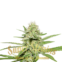 Enemy's Dream - Feminized - Super Strains (PICK N MIX)