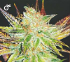 Medical Seeds Prozack Feminized PICK N MIX