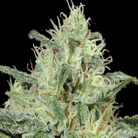 Kera Seeds Critical Feminized (PICK N MIX)