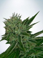 Ministry of Cannabis Seeds Auto Northern Lights Feminized