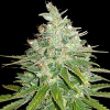 World of Seeds Medical Collection Afghan Kush x Black Domina Feminized
