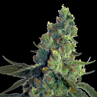 NorStar Genetics Seeds Sour Chelumbian Regular