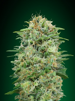 OO Seeds White Widow CBD Feminized