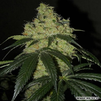 Karma Genetics Seeds White O.G. Regular