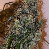Connoisseur Genetics Seeds Australian Dead Head Feminized