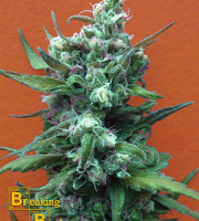 Breaking Buds Seeds Big Whoop Auto Feminized