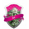Royal Queen Seeds Ice Feminized (PICK.N.MIX)