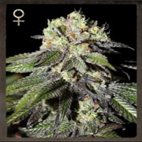 Strain Hunters Seeds Caboose Feminized
