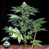 Dinafem Seeds Roadrunner Auto Feminized (PICK N MIX)