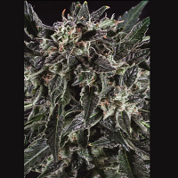 SuperCBDx Seeds Amnesia Haze x SCBDx Feminized