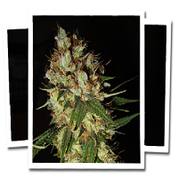 Emerald Triangle Seeds G-13 x Blueberry Headband Regular