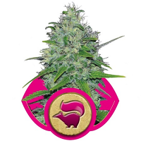 Skunk XL – Feminized – Royal Queen Seeds