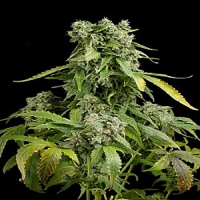 Dinafem Seeds Blue Cheese Auto Feminised