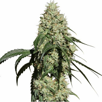 Medical Marijuana Genetics Seeds Nagual (NG-1) Feminized