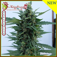 Dr Krippling Seeds O.G. Kush Auto Feminized (PICK N MIX)