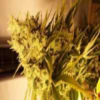 Connoisseur Genetics Seeds Lemon N Lime Jones Feminized