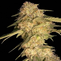 DNA Genetics Seeds ReCon Regular