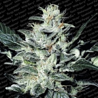 Paradise Seeds Sensi Star Feminized