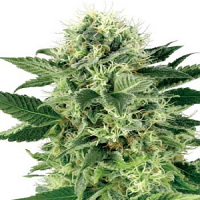White Label Seed Company Northern Lights Feminized