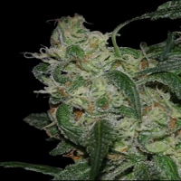 DNA Genetics Seeds LA Cannalope Feminised