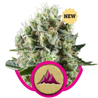 Royal Queen Seeds Critical Kush Feminised