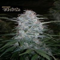 Flash Seeds White Sirius Auto Feminized