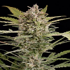 Dinafem Seeds Critical + 2.0 Auto Feminised