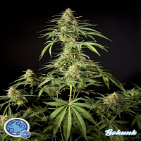 Philosopher Seeds Gokunk Feminized