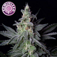 Kera Seeds Gorilla Glue Feminized