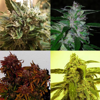 Shortstuff Seeds Short Mix Auto Feminized