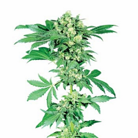Afghani #1 – Regular – Sensi Seeds