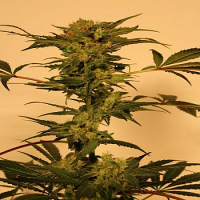 Exotic Seed Devil Kush Regular