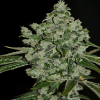 T.H.Seeds UltraSour Kush Feminized