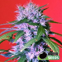 Bomb Seeds Berry Bomb Regular