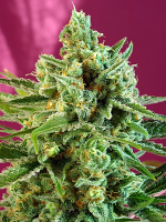 Sweet Seeds S.A.D. Sweet Afgani Delicious CBD Feminized